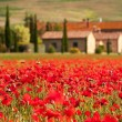 Tuscan red poppies — Stock Photo