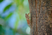 Singzikade (Cicadidae) - Cicada — Stock Photo