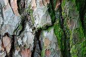 Zerklüftete, moosbewachsene Baumrinde - tree bark broken up — Stock Photo
