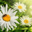 Springtime  and daisies — Stock Photo