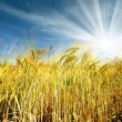 Wheat field — Stock Photo #6057840