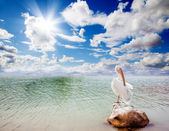 Landscape and pelican — Stock Photo