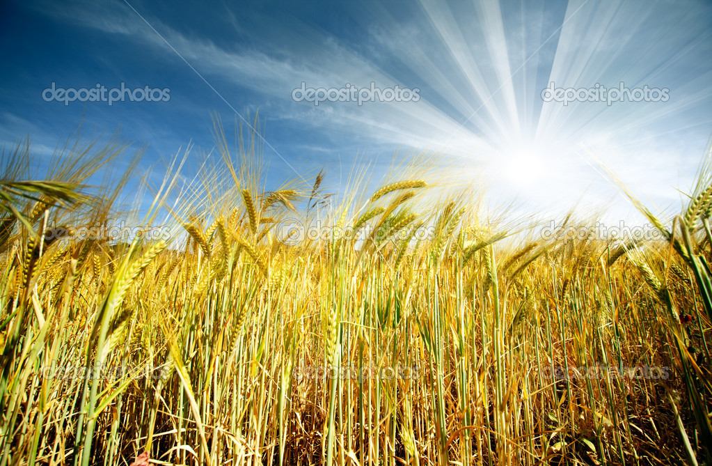 Idyllic wheat field and sunshine — Photo #6057840