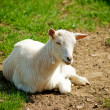 Goat on grass - Stock Photo
