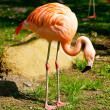 Flamingo - Stock Photo