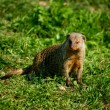 Banded mongoose - Stock Photo