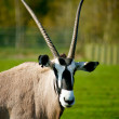 African oryx - Stock Photo