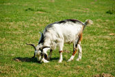 Goat on grass — Stock Photo