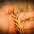 Hand holding wheat ear — Foto Stock