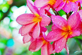 Plumeria flower in garden — Stock Photo