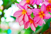 Plumeria flower in garden — Stock Photo