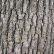 Camphor tree bark — Stock Photo