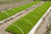 Rice seedlings — Stock Photo