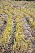 Rice straw — Stock Photo