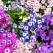 Washington Carpet of Multicolored Daisies 2010 - Stock Photo