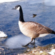 Thornhill Canadian geese on ice 2011 - Stock Photo