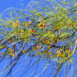 Or Yehuda Parkinsonia aculeata 2011 - Stock Photo