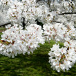 Washington cherry blossoms 2011 — Stockfoto
