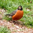 Washington American Robin April 2011 - Stock Photo