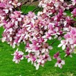 Washington Magnolia Blossom 2011 - Stock Photo