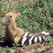 Or Yehuda Eurasian Hoopoe 2011 - Stock Photo