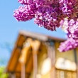 Syringa — Stock Photo #5571085