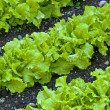 Stock Photo: Salad cultivation