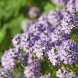 Stock Photo: Thyme blooming
