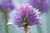 Chive blooming — Stock Photo