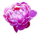 Blossom of chinese Peony — Stock Photo