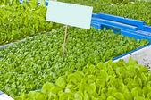 Seedlings of salad — Stock Photo