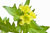 Yellow henbane — Stock Photo