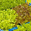 Seedlings of salad - Stock Photo