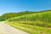 Switch grass — Stock Photo