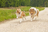 Collie dogs — Stock Photo