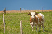 Cow on a range — Stock Photo