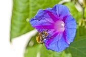 Bumble bee op morning glory — Stockfoto
