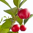 Gaultheria procumbens - Stock Photo