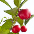 Gaultheria procumbens — Stock Photo