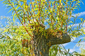 Pollarded willow — Stock Photo