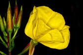 Evening primrose — Stock Photo