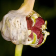 Bulbil of garlic — Stock Photo