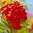 Stock Photo: Rowan-berry