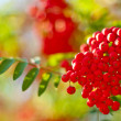 Rowan-berry — Stock Photo