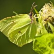 Stock Photo: Brimstone butterfly, Gonepteryx rhamni