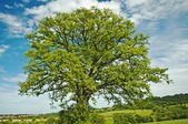 Tree in summertime — Stock Photo