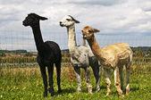 Alpaca, Vicugna pacos — Foto Stock