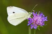 Cabbage butterfly, Pieris brassicae — Stock Photo