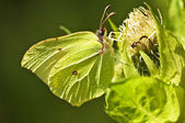 Brimstone butterfly, Gonepteryx rhamni — Stock Photo