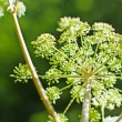 Angelica, Angelica sylvestris - Stock Photo